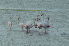 B-G-8-Flamingos