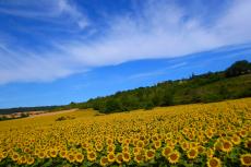 Gal-10-B-Sonnenblumen